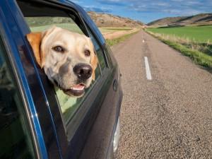 Dog in car with senior
